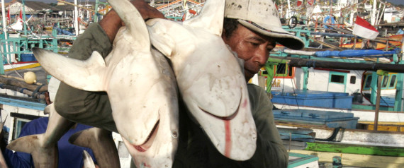 INDONESIA SHARK
