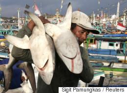 인도네시아 상어가 멸종위기에 빠진 이유