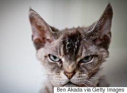 Vous devriez avoir peur de ce chat qui vient d'attaquer 7 pitbulls (VIDÉO)