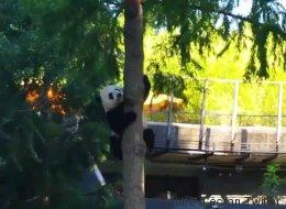 Bei Bei est vraiment un panda snob (VIDÉO)