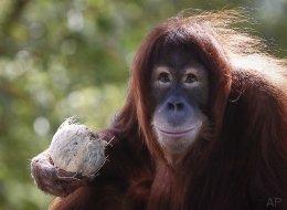 L'orang-outan pourrait totalement disparaître dans 10 ans