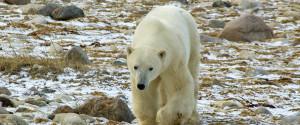 Churchill Manitoba Bears