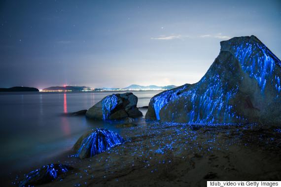 bioluminescent shrimp