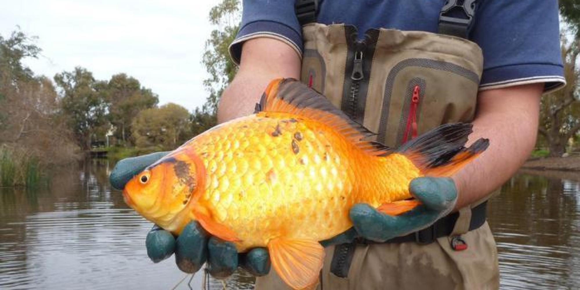 I pesci rossi buttati nei fiumi e nei laghi crescono e for Pesce rosso butterfly