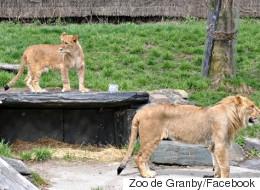 Attaque d'une lionne: les causes identifiées