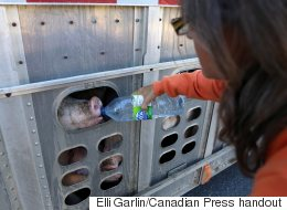 Activist On Trial For Giving Pigs Water On Hot Day