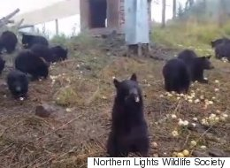 Nothing To See Here Except 25 Orphaned Bear Cubs Eating Apples