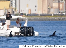 Seal Borrows Boat To Escape Killer Whales Like A Boss