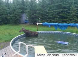 Un orignal coincé dans une piscine à Saint-Hilaire (VIDÉO)