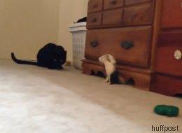 Il court, il court le furet... et ce chat a du mal à suivre (VIDÉO)
