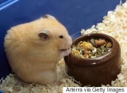Il confectionne un tout petit plâtre pour son hamster blessé