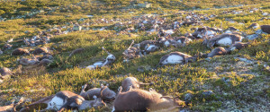 HARDANGERVIDDA NORWAY REINDEER KILLED
