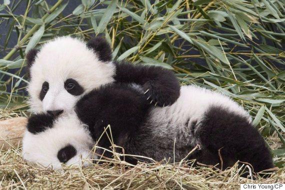 toronto zoo panda cubs