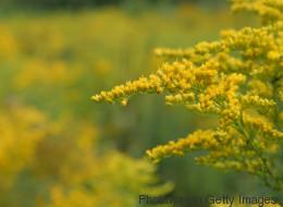 Heuschnupfen: Diese Pflanze könnte die Zahl der Allergiker verdoppeln