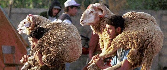 SHEEP MOROCCO