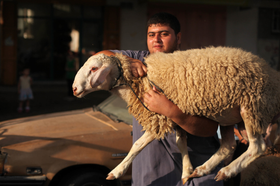 slaughter sheep