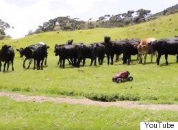 Comprenez pourquoi ces vaches obsédées courent après ce camion téléguidé (VIDÉO)
