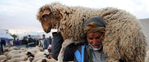SHEEP TUNISIA