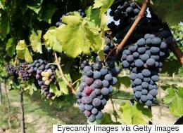 Une cuvée 2016 exceptionnelle prévue pour les vins du Québec