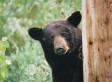 Bear Named Jewel To Birth Cubs Live On Internet Via Solar-Powered Webcam In Her Minn. Den (VIDEO)