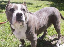 Pitbulls : la SPCA lance un ultimatum à l'administration Coderre