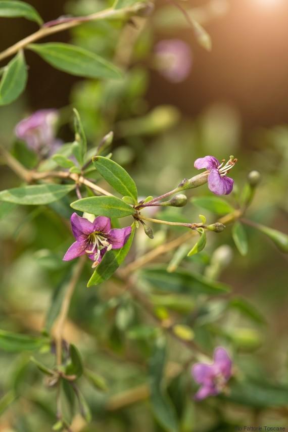 fiore bacche goji