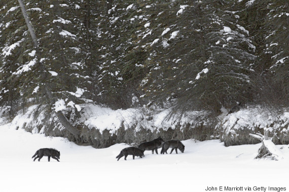 wolf pack british columbia