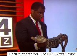 Un alligator agité effraie cet animateur de télévision (VIDÉO)