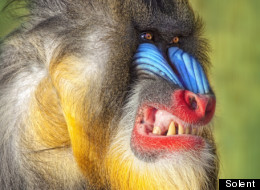 Angry baboon face - photo#20