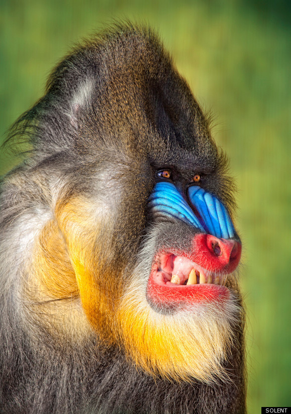 Angry baboon face - photo#1