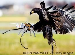 Pour capturer les drones, les policiers auront... des aigles! (VIDÉO)
