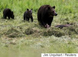 Une famille canadienne tombe face à face avec 3 grizzlis dans leur cour arrière (VIDÉO)
