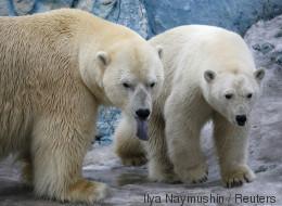 Des ours polaires assiègent des chercheurs russes sur une île de l'Arctique