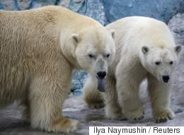 북극곰에 포위당했던 과학자들이 가까스로 탈출했다