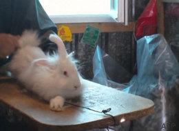 En France, les images choquantes de l'élevage des lapins angoras