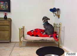 Ce chihuahua dort dans un véritable palace royal