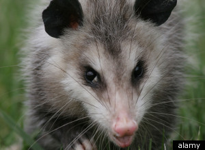 Opossum Subway