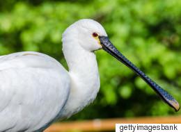 멸종위기 저어새, '새만금'에서 사라질 위기에 처하다