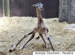 2년 전에 '남는' 기린을 죽였던 덴마크 동물원에서 아기 기린이 태어나다