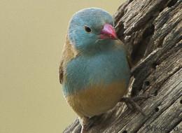 Vas a alucinar con lo que hace este pájaro para ligar