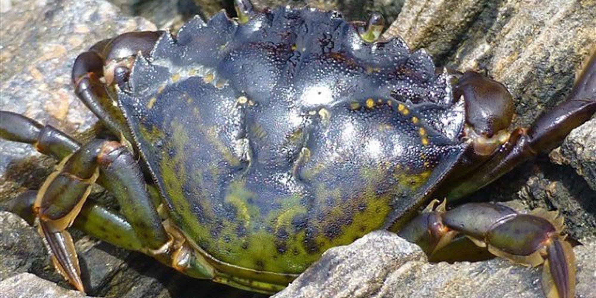 Cuisiner le crabe vert pour l 39 emp cher de prolif rer - Cuisiner les poivrons verts ...