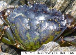 Cuisiner le crabe vert pour l'empêcher de proliférer