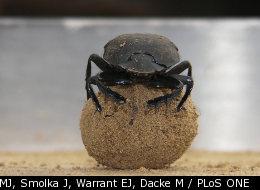 Dancing On Ball Of Poop Helps Bug Find Its Way
