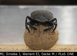 Dancing On Ball Of Poop Helps Bug Find Its Way
