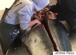 Histoire de pêche de 700 livres pour le Saint-Amour