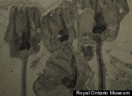 What Is So Different About This Tulip-Shaped Fossil?