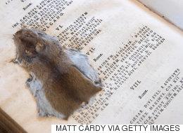 17세기 책 속에서 발견된 납작한 생쥐 사진으로부터 눈을 떼긴 어려울 것이다