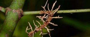 Cordyceps Sp