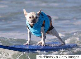 Des chiens s'affrontent dans une compétition de surf (PHOTOS)