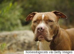 La SPCA de Montréal poursuit la Ville en lien avec le règlement sur les pitbulls